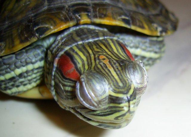Чем лечить конъюнктивит у черепах красноухих черепах thumbnail