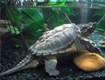 черепаха каймановая фото